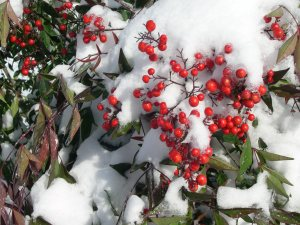 Nandina Berries look like Christmas