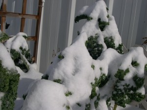The last of my curly kale looks like trees after a snow storm