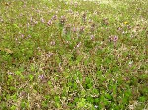 Deadnettle - Lamium Purpureum