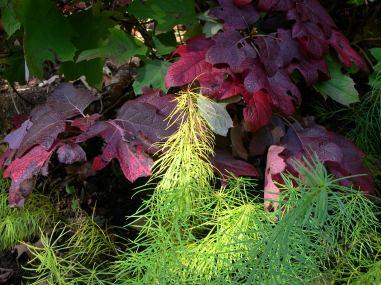 Arkansas Ansonia and Oak Leaf Hydrangea